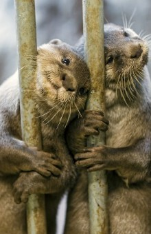 limbic otters